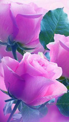 / Beautiful Photó / ** juli – /Rose, , Flower/**rózsa , virág ** – Közösség – Google+