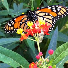 Monarch butterfly - another fav photo