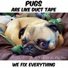 Love a pug and come check out pugs for life yotube channel. Please pin and… Funny Dogs, Funny Animals, Cute Animals, Animals Beautiful, Baby Animals, Pug Quotes, Pugs And Kisses, Baby Pugs, Pets