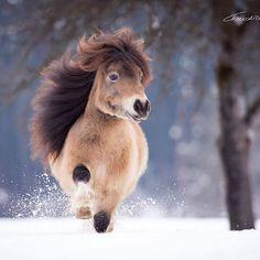 "Minishetty stallion ""Eagle v. h. Kosterhof"" in the snow. #photography #photooftheday #pferde #pferdeschönheiten #pferdefotografie #pony #equine #equinephotographer #equinephotography #photoshop #austria #nikon #nikond810 #claudiarahlmeier"