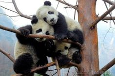 Google Image Result for http://www.chinahighlights.com/image/travelguide1/culture/giant-panda/bifengxia-panda-base/bifengxia-panda-base-5.jpg