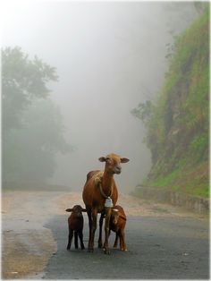 goats and fog Nature Animals, Farm Animals, Cute Animals, Farm Photography, Animal Photography, Mundo Animal, My Animal, Beautiful Creatures, Animals Beautiful