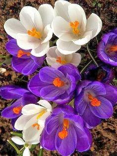 Crocus Spring Blooms....Mommy loved these every year!!!!