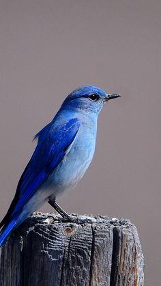 Bluebird - Flickr - Photo Sharing!