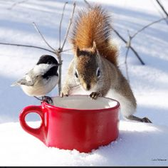 Veux-tu être mon ami?  Do you want to be my friend?  Chickadee and red squirrel in the snow