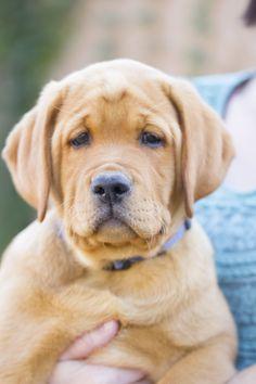 "Fox Red Labrador Retriever puppy ""Odin"" at DaisyMountainLabs.com"