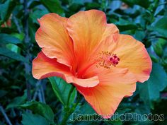 Hibiscus Blossom photograph yellow pink orange by JantasticPhotos
