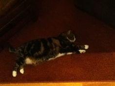LAZYEST CAT ON EARTH