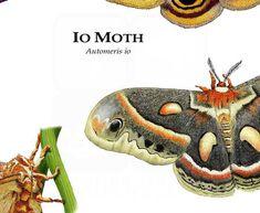 Art Illustrations, Illustration Art, Giant Leopard Moth, Io Moth, Types Of Moths, Freshwater Turtles, Cecropia Moth, Moth Wings