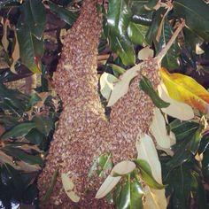 Magnolia swarm