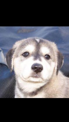 adorable Husky Lab mix pup by ~Moon-Seeker on deviantART Husky Lab Mix Puppy, Lab Mix Puppies, Labrador Husky, Chihuahua Mix, Labrador Retriever, Siberian Husky Mix, Dog Photos, Cute Dogs, Dog Lovers