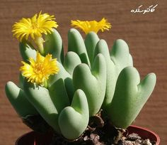 no way... a hear cactus that blooms yellow... I think God made this just for me :) Conophytum bilobum:
