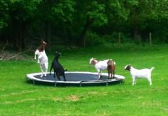 The kind of person who puts a trampoline in their backyard so goats can play on it: | 24 People You Desperately Wish You Could Be Can't support all of these but the goat tramp, dog deck, puppy bath and awesome mag make my list. #14 is genius if you like cats and plan on a dirt nap.