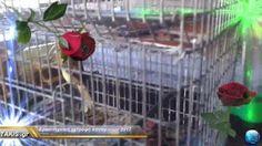 Φίλες και φίλοι γειά σας σε αυτήν την ανάρτηση θα δούμε ένα πολύ ωραίο βίντεο με τίτλο  Κλουβιά εκπαίδευσης  καναρινιών Timbrado  song training cages Canaries Timbrado  από κουνελοσυρμα που περίσσεψε από την κλούβα μου μόνο βάψιμο θέλει και τους πάτους έριξα και τα πρώτα 4 φετινά καναρινιά
