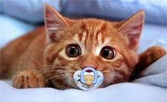 ♥ WELL.... NOT QUITE SURE WHY THIS PRECIOUS KITTEN HAS A PACIFIER?  TOO CUTE :D <3 <3 <3 <3