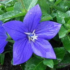 Ballonplant - Platycodon grandiflorus 'Astra Blue'