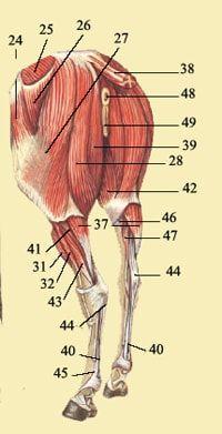 Anatomie van het paard-spieren/pezen/banden