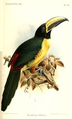 Lettered Aracari (Pteroglossus didymus) - Catalogue of the Birds in the British Museum art toucan Small Drawings, Animal Drawings, Botanical Drawings, Botanical Art, Vintage Bird Illustration, Scientific Drawing, Science Illustration, Vintage Birds, Fauna