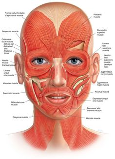 Facial muscles frontal view                                                                                                                                                                                 More