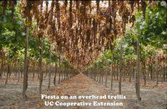 trellising grapes at home   Tags: overhead trellis (1), raisin (7), viticulture (48)