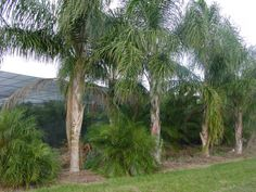 Queen Palm Tree Pictures - photos of the Palms