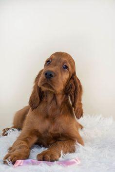 Bogan Ioana Goldset Kennel Cocker Spaniel Puppies, English Cocker Spaniel, Red And White Setter, Irish Setter Dogs, Scottish Deerhound, Irish Terrier, Cockerspaniel, Red Dog, Dog Rules