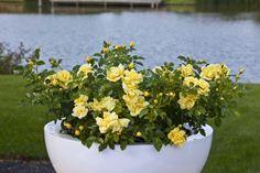 die besten 25 topfrosen ideen auf pinterest rosen im topf rosen berwintern und noack rosen. Black Bedroom Furniture Sets. Home Design Ideas
