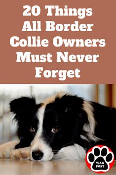 20 Things All Border Collie Owners Must Never Forget. The Last One Brought Me To Tears… Here are some important lessons that are sometimes easy to forget in our hectic lives and that all Border Collie owners can never forget … Boarder Collie Puppy, Border Collie Facts, Perros Border Collie, Border Collie Humor, Collie Dog, Blue Border Collie, Rough Collie, Border Collie Training, Border Collie Welpen