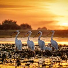 This is what I call a proper sunset! 🌅 Pelicans in the Danube Delta, Romania. Shot with in my - Calin Stan ( Tour Around The World, Around The Worlds, Wildlife Photography, Travel Photography, Danube Delta, Smell Of Rain, Visit Romania, Group Tours, Photography Workshops