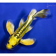 Butterfly Koi, Types Of Butterflies, Japanese Koi, Koi Carp, Fish, Water Gardens, Ponds, Google Search, Colorful