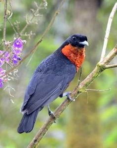 Red-ruffed Fruitcrow, a cotinga, Otun Quimbaya, Colombia: ranges across much of northern S.A.