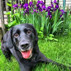 Cooper & Irises. #katanddog #lab #labrador #labradors #labradorable #labradorlove #labradorretriever #labradorretrievers #labradorsofinstagram #retriever #retrievers #retrieveroftheday #retrieversofinstagram #blacklab #blacklabs #blacklabrador #worldoflabs #dog #dogs