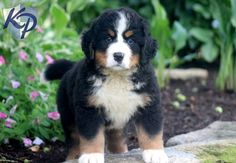 Hazel – Bernese Mountain Dog Puppy