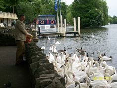 ~ the Swan Whisperer ~ he collects bread and feeds the Queen's swans ~ River Thames between Windsor and Eton, England ~