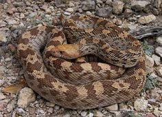 Bull Snake, Pituophis catenifer sayi