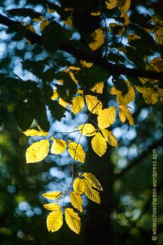 Rotbuche im Herbst mit #gelben Blättern / © wildeschoenheiten.wordpress.com