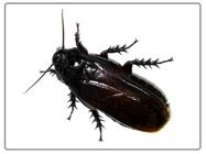 Disinfestazione da scarafaggi, blatte in maniera definitiva a bassi costi. http://www.bioecologysrl.it/blatte/disinfestazione_blatte_scarafaggi.html