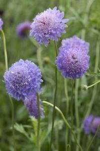 Scabiosa atropurpurea, 'Blue Cockade' Seeds £2.50 from Chiltern Seeds - Chiltern Seeds Secure Online Seed Catalogue and Shop