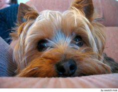 Silky Terrier - so ready for a dog!!