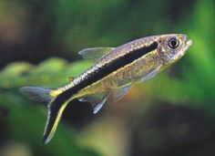 The true penguin tetra. Not flashy, but fun. Always rests at an upward angle in the water. A neat little fish, and peaceful. Tropical Freshwater Fish, Tropical Fish Aquarium, Freshwater Aquarium Fish, Fish Tank Stand, Tetra Fish, Different Types Of Animals, Otters Cute, Aquatic Ecosystem, Cute Fish