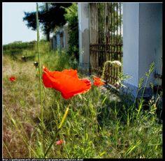fotografie e altro...: Papavero  - macro - HDR - photographic processing ...