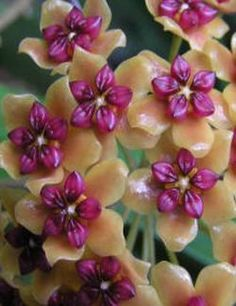 Fleur de porcelaine : Hoya benquentensis