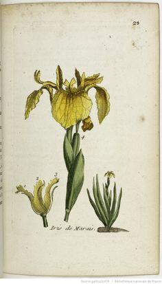 IRIS - Iris pseudo-acorus. L'iris ou flambe des prés / Le faux acorus / Le glais ou glayeul de marais ou des prés