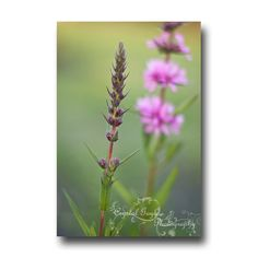 Nature Photography Print Wildflower Home Decor Radiant Orchid Flower Greeting Card http://ift.tt/1cybRtB