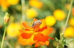 明野サンフラワーフェスのコスモスと蜂