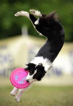 A border collie catches a frisbee during the Skyhoundz Disc Dog European Championship competition in Budapest, Hungary. I miss my border collie. I Love Dogs, Cute Dogs, Animal Tracks, Collie Dog, Cocker Spaniel, Dog Pictures, Dogs And Puppies, Doggies, Dalmatian Puppies