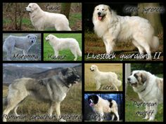 Livestock guardian dogs. (the white ones look a lot alike..! I can keep the great Pyrenees and Kuvasz apart from the rest, but the others... I couldn't tell a cuvac from a tatra or a Maremma)