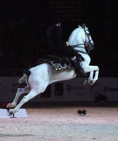 Cabriole by a horse of the Ecole Royale Andalouse d'Art Equestre.  (Spanish Riding School LIpizzaner)