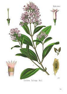 La quinina o árbol de la quina.