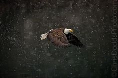 SNOWGLOBE . Bald Eagle by Christopher Dodds on 500px